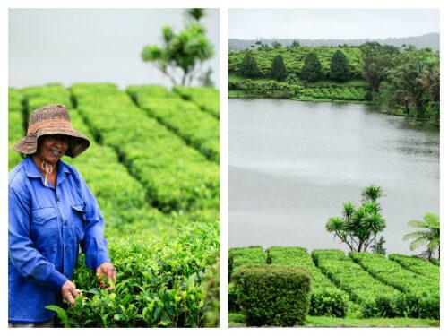 Værd at vide om grøn te