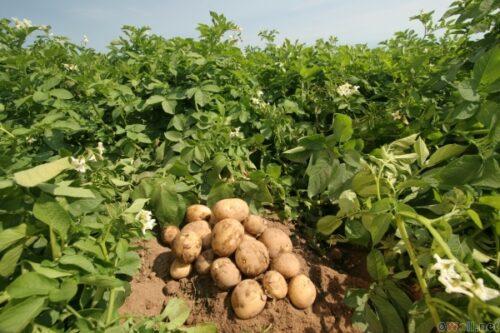 danske kartoffelavlere klynker over forhoejede pesticidafgifter