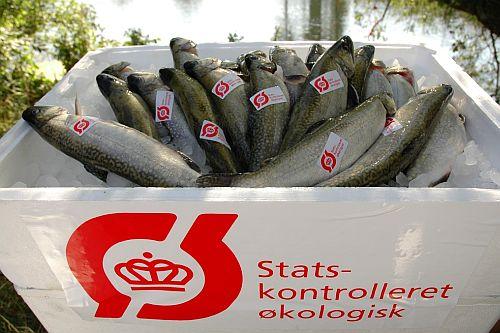 vilde fisk opdrætsfisk eller snydefisk