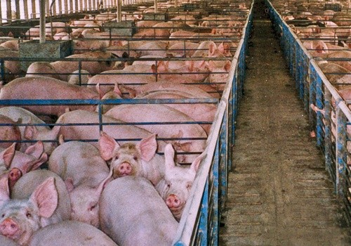 antibiotika i svineproduktion