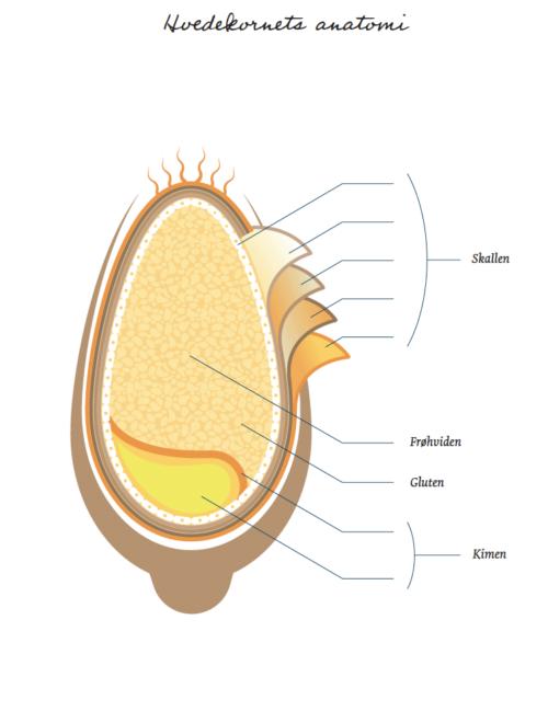 Illustration af hvedekornets anatomi
