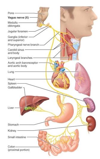 vagus-nerven - saadan stimulerer du vagus nerven