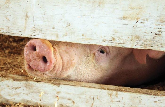 svinekoed uden antibiotika